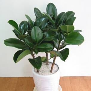 Indoor ornamental-plants rubber tree seed , 100% right seeds - Love green store