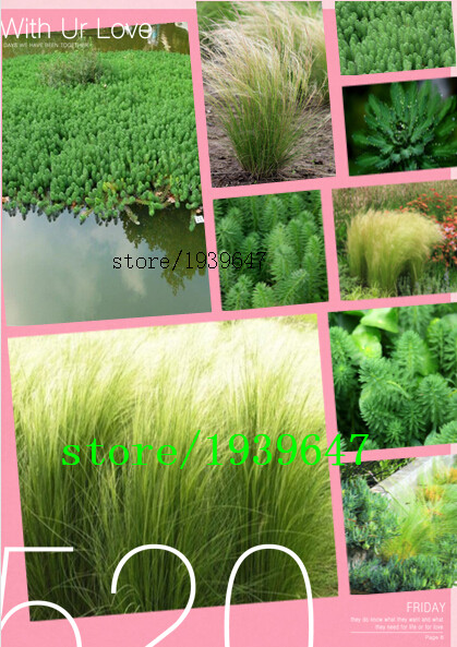 200seeds / pack , Mexican Feather Grass Seeds - Stipa tenuissima - Also called Silky Thread Grass or Mexican Needle Grass(China (Mainland))