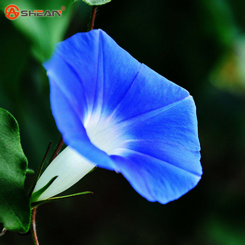 New Arrival Deep Light blue Ipomoea Nil Seed Morning Glory seed Flowering Plants Charming Chinese Flowers Seeds 50 Particles/lot(China (Mainland))