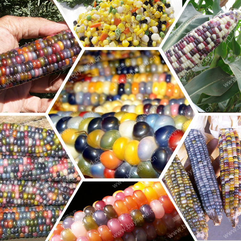 Rainbow corn seeds, vegetables, grains and miscellaneous good quality maize seed, 30 particles / bag(China (Mainland))
