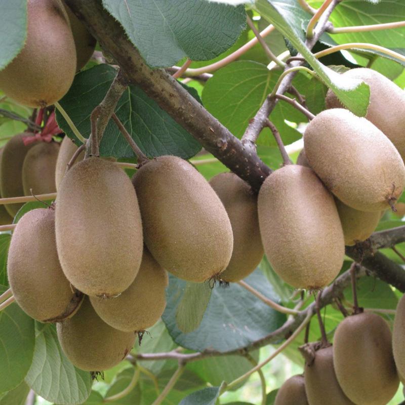 are kiwi fruit promotionshop for promotional are kiwi