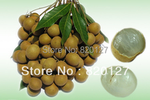 Buy 20 FRESH SEEDS DRAGON'S EYE Exotic LONGAN LONGYAN FRUIT Tree seeds, 2014 Crop tropical fruit for $6.19 in AliExpress store