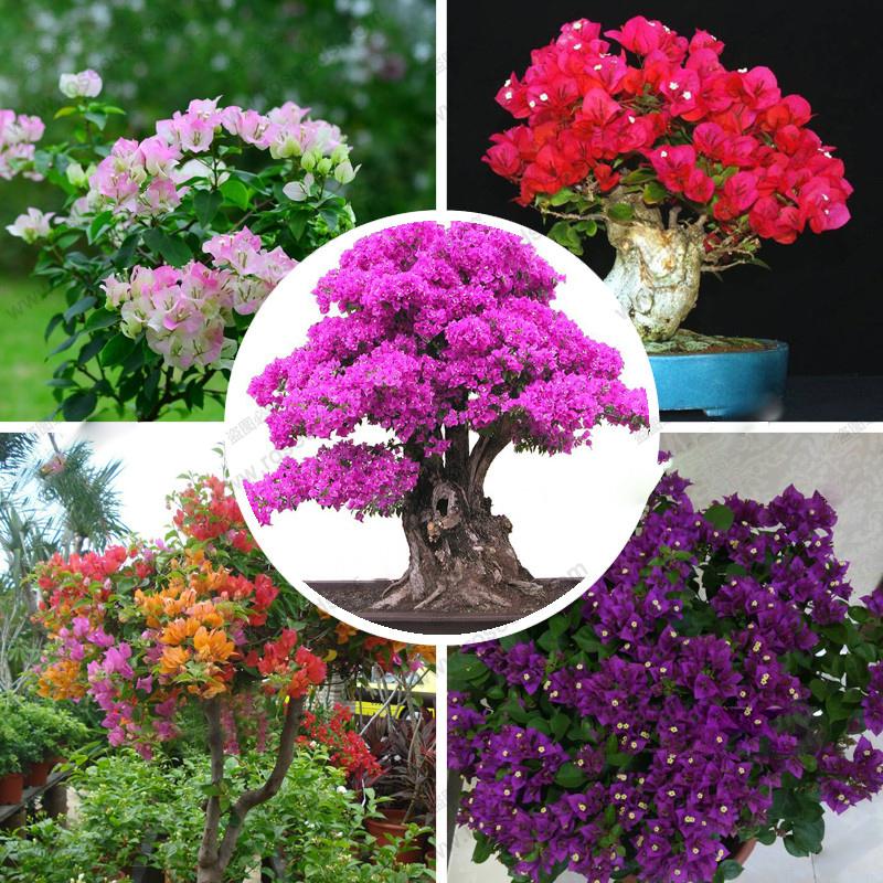 50pcs Bougainvillea Spectabilis Wind Bonsai Plant Seeds Bougainvillea seeds Flower Seeds for home garden(China (Mainland))