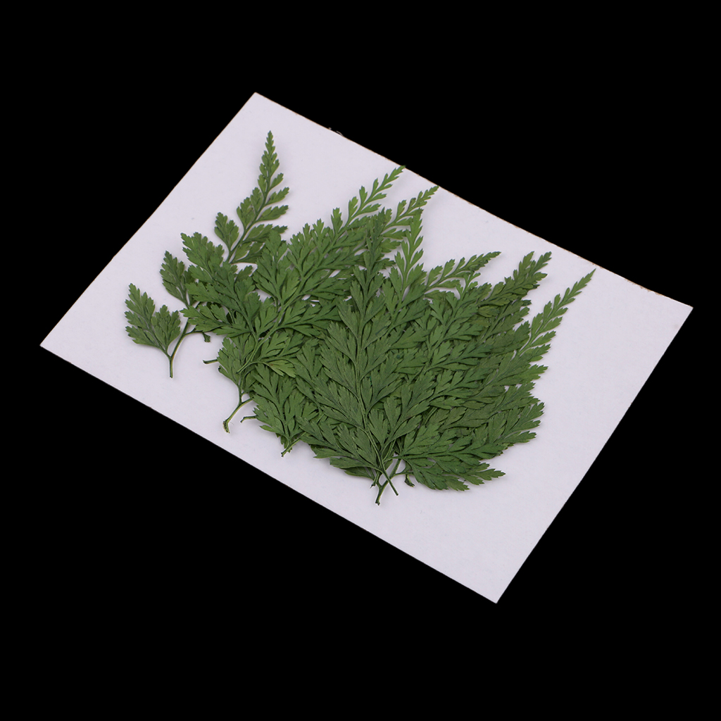 12x Pressed Dried Flower Fern Leaves DIY Arts Crafts Resin Jewelry Bookmarks