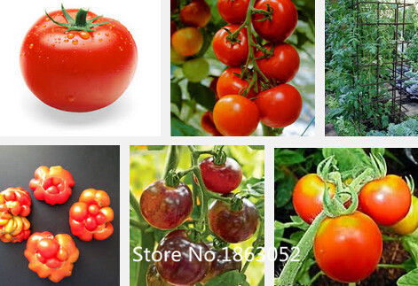 200pcs 24 KINDS Tomoto Seeds mixed packed Purple Black Red Yellow Green Cherry Peach Pear Tomato Seed Organic Food for Garden Ra(China (Mainland))
