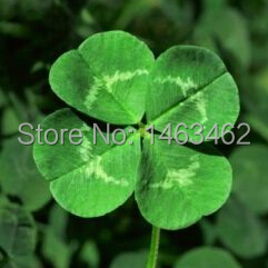 Гаджет  White Clover Seed Lucky Grass Fragrant Lawn Groundcover Heirloom 50 Seeds None Дом и Сад
