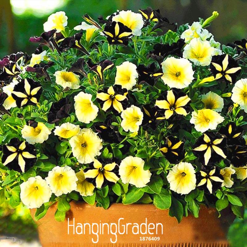 Promoci n de la plantaci n de semillas de petunia compra - Calibrachoa perenne ...