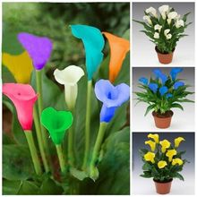 Buy Calla lily seeds, potted balcony,Calla lily can radiation absorption, mixed colors 100 seeds, calla lily bulbs for $1.39 in AliExpress store