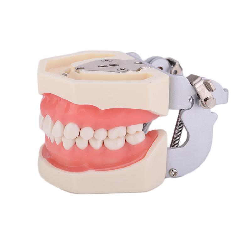 Denture Dental Teaching Standard Model Dental Teeth Model 28 tooth with FE Articulator<br><br>Aliexpress