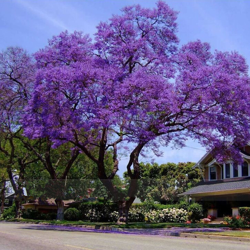 50 best paulownia seeds empress tree romantic flower great for Arbre de jardin a croissance rapide