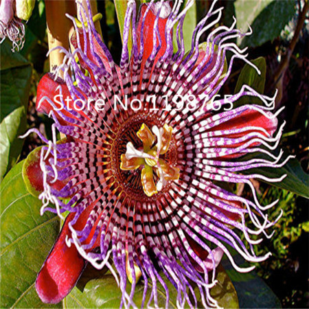 New Arrival ! 10pcs/bag passion fruit seeds organic passiflora edulis seeds nutritious Granadilla garden fruit seeds(China (Mainland))