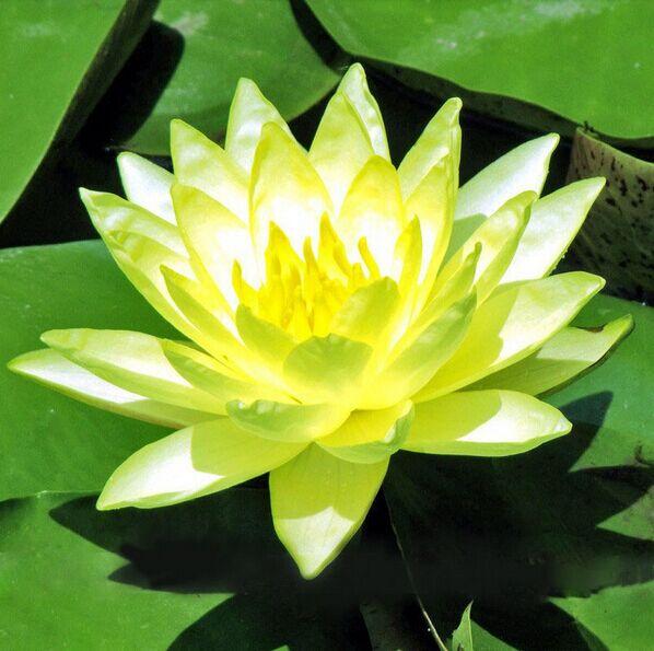 Popular indoor pond plants buy cheap indoor pond plants for Cheap pond plants