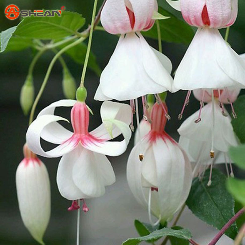 White Fuchsia Seeds Potted Flower Seeds Potted Plants Hanging Fuchsia Flowers 50 Particles / Bag(China (Mainland))