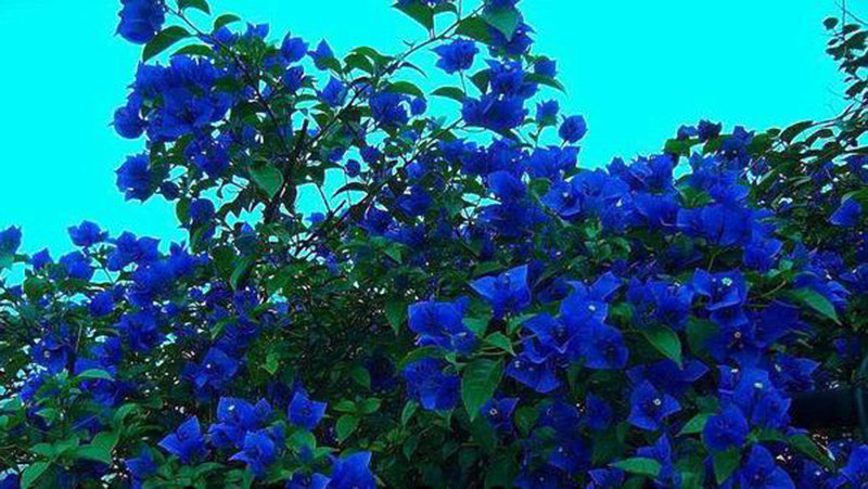 100 Pcs Unique Blue Bougainvillea Spectabilis Seeds ...
