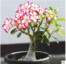 20 seeds/pack Bonsai Flowers New Absorption of Formaldehyde Colorful Desert Rose Seeds adenium obesum seed(China (Mainland))