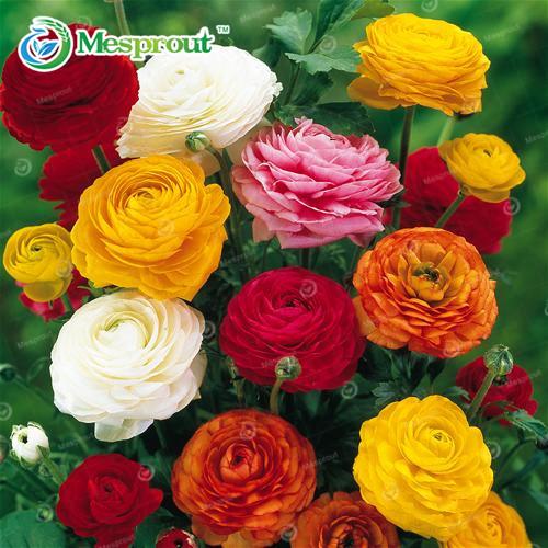 100 seeds/Bag Ranunculus seeds Flower Seeds For Home & Garden DIY Plants Persian Buttercup Seed Flower(China (Mainland))
