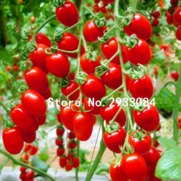50 pcs tomato seeds Milk red tomato seeds, cherry tomatoes, tomato seeds organic fruits and vegetables(China (Mainland))