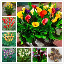 Buy True calla lily bulbs, (not calla lily seed),balcony bonsai flower bulbs, Pure noble plant pot 2 pcs for $1.49 in AliExpress store