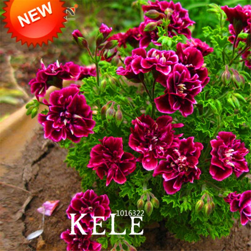 Acquista all 39 ingrosso online semi di geranio da grossisti for Vendita semi fiori