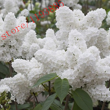 100pcs White Japanese Lilac Seeds (Extremely Fragrant) clove  flower seeds for  home & garden(China (Mainland))