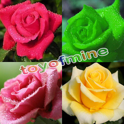 Popular rainbow rose plant buy cheap rainbow rose plant for Multi colored rose bushes