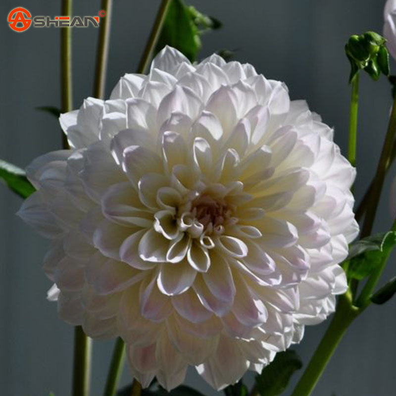 White Dahlia Seeds,Potted Balcony Flower Plant Seeds DIY Home Garden 100 Particles / lot(China (Mainland))