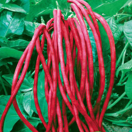 20seeds/bag No frame purple red ground beans with bean vegetable seeds yielding cowpea disease 15 bean seeds(China (Mainland))