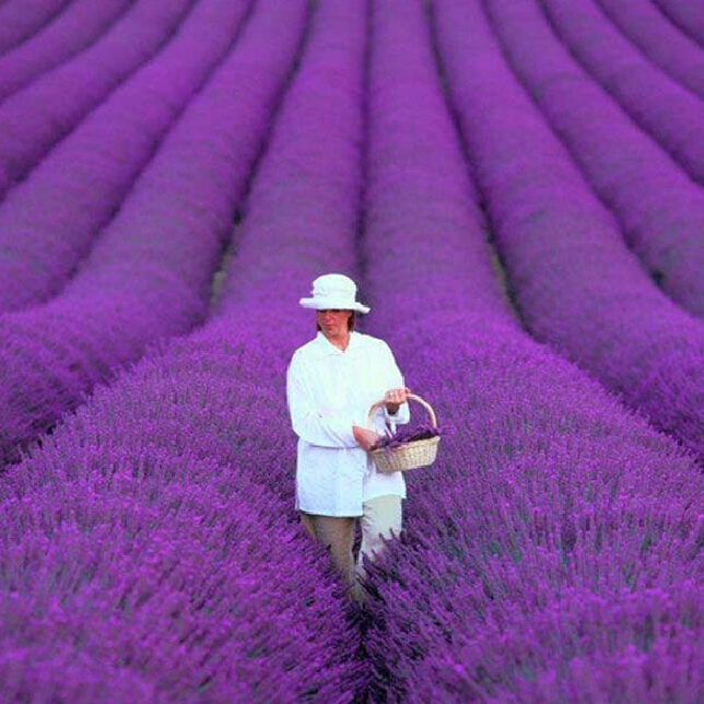 200 PCS / bag french provence lavender seeds very fragrant organic lavender seeds plant flower Flower seeds Home Garden Bonsai(China (Mainland))
