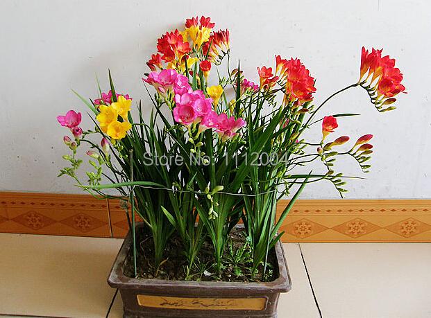Freesia bulbs,freesia,Bonsai balcony - 5 pcs freesia rare seed flower Senior garden plants Clean air Radiation protection(China (Mainland))
