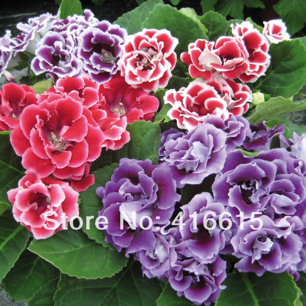 Free Shipping Mirage & Dream Flowers 100 Gloxinia Seeds Brocade Chinese Foxglove Flower Bonsai Potted Plant,Plus Mysterious Gift(China (Mainland))