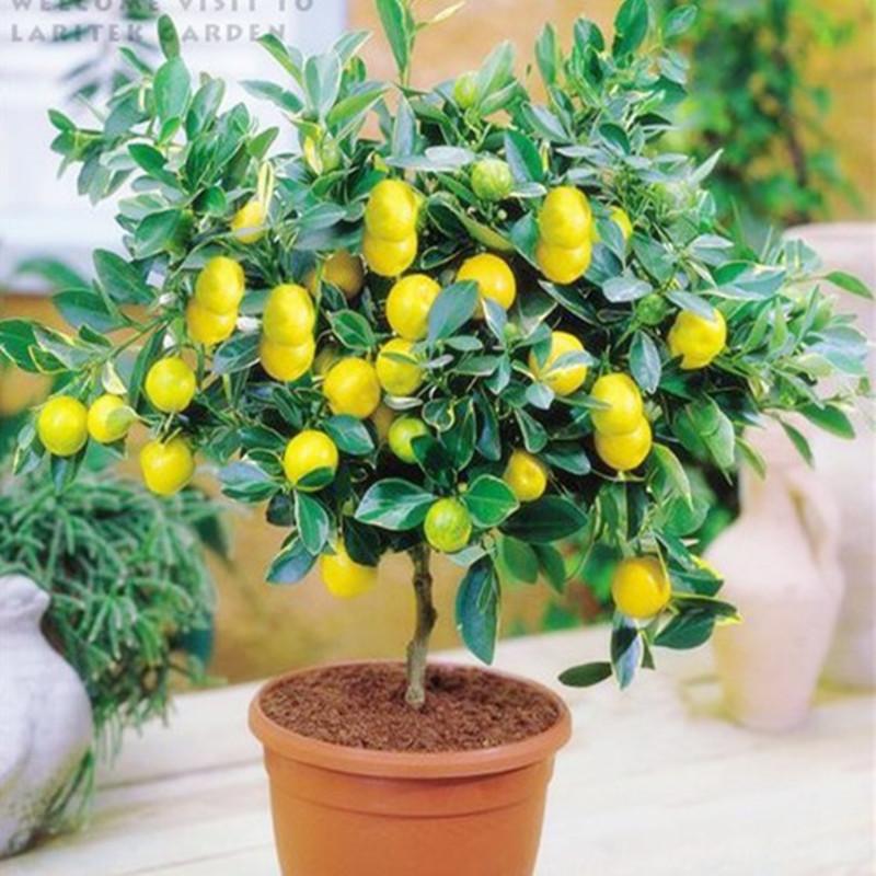 Как вырастить лимон дерево в домашних условиях