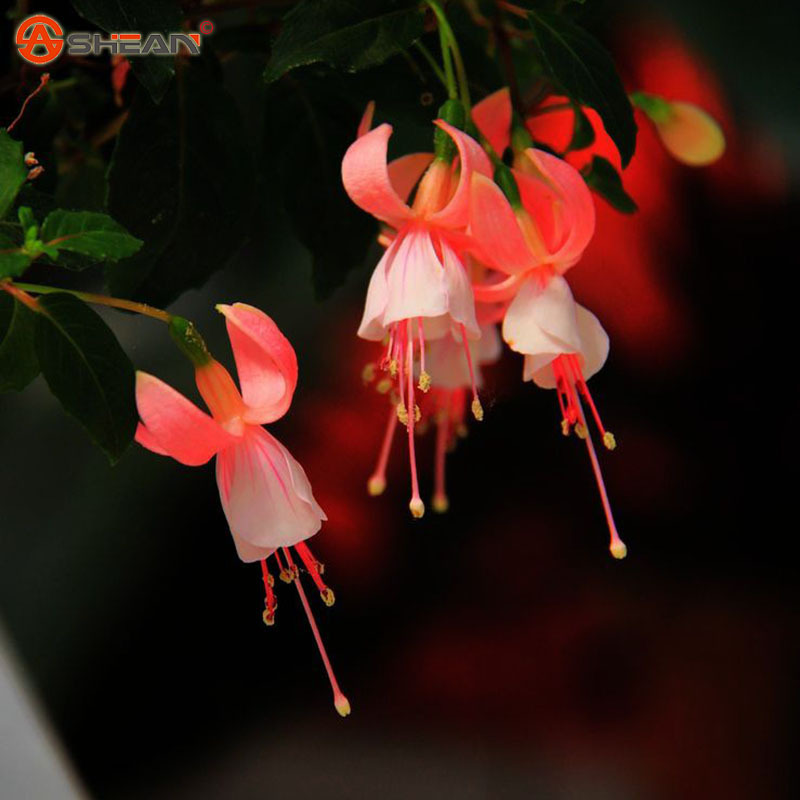 Red Fuchsia Seeds Potted Flower Seeds Potted Plants Hanging Fuchsia Flowers 50 Particles / Bag(China (Mainland))