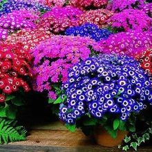 100 seeds, mixed color Cineraria seeds, potted seed, flower seeds for home & garden  Promotion!!(China (Mainland))