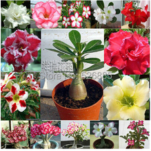 Desert rose seeds, free shipping cheap  desert rose seeds, desert rose potted seed, Bonsai balcony flower - 1 pcs/bag(China (Mainland))