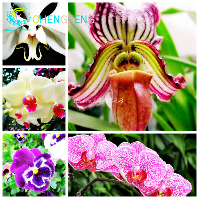 Phalaenopsis seeds potted plants mixed colors Bonsai Flower Seeds 100 pcs/bag Orchid Seeds(China (Mainland))