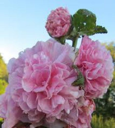 100pcs/lot PINK GIANT DANISH DOUBLE HOLLYHOCK FLOWER SEEDS / PERENNIAL(China (Mainland))