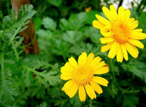 Heirloom 100 grams 36000 Seeds / bag Chrysanthemum coronarium Corn Marigold Crown Daisy 1500 Flower Bulk Seed supplier(Hong Kong)