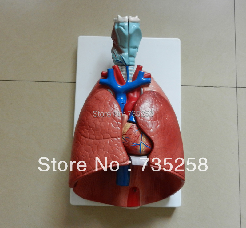 Larynx, Heart and Lung Model,Respiratory System Anatomical Model<br><br>Aliexpress