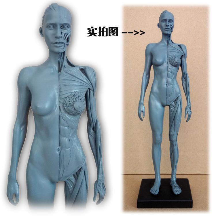 30cm Human Female Model Anatomy Skull Head Muscle Bone Medical Artist Drawing skeleton for sale(China (Mainland))