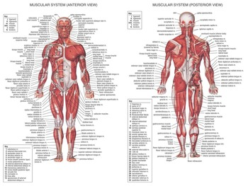 "Human Body Anatomical Chart Muscular System Fabric poster 32"" x 24"" 17x13""--001"