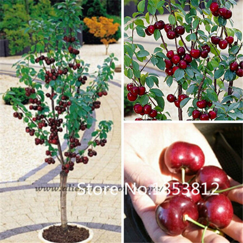 Sale 2015 Asian Rare Cherry Seeds Fruit Seeds 20pcs pack 20 Species Bonsai Seeds Free Shipping