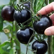 BLACK tomato Seeds very Tasty Nutritive heath Vegetables Seed 30 pcs/pack Garden Bonsai Flower Seeds(China (Mainland))