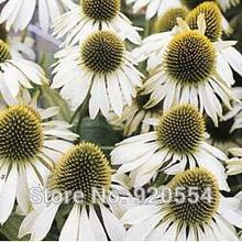 Buy Rare flower,Imported seed,10pcs/lot Echinacea purpurea 'White Swan', Coneflower seeds bonsai plant DIY home garden free for $1.73 in AliExpress store