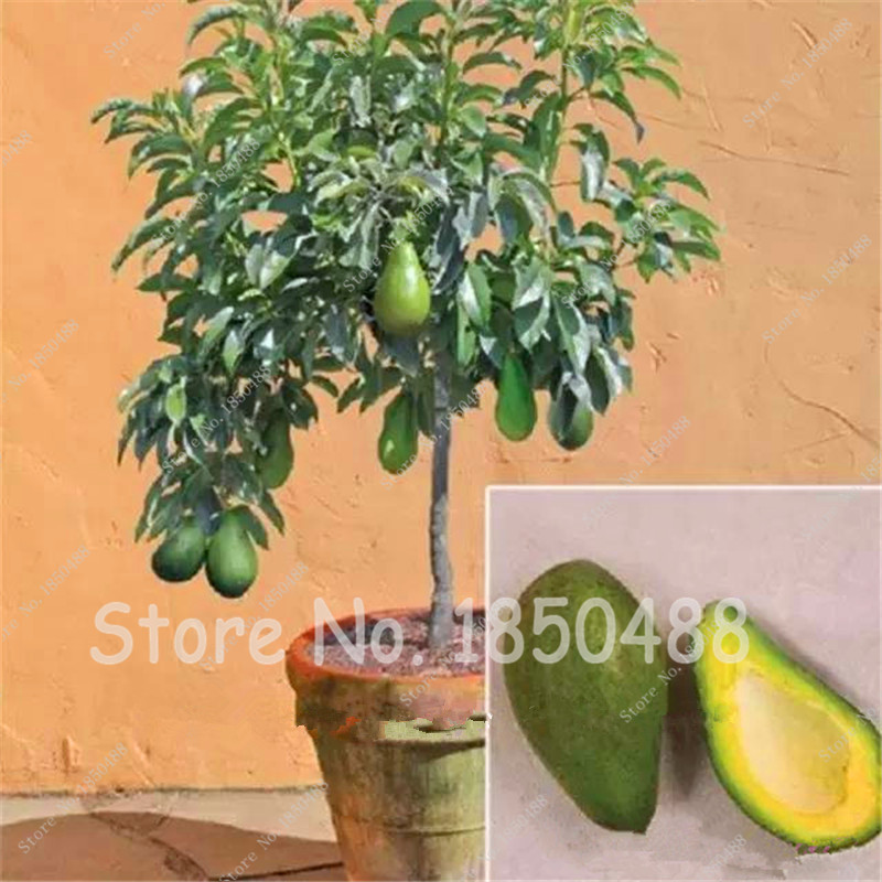 Avocado Seeds Green Fruit Very Delicious Persea Americana Mill Pear Seed Easy to Grow,Fruit Seeds for Home Garden Plant 10 pcs(China (Mainland))