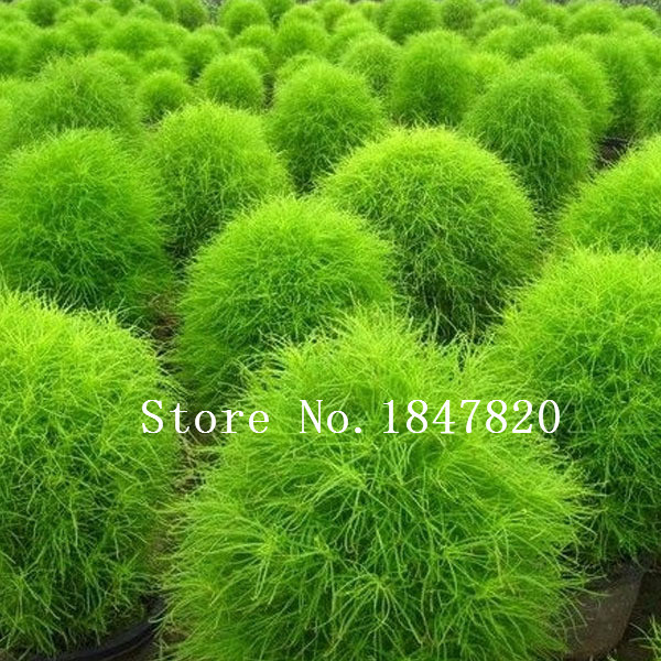 summer cypress seed,Kochia broom seedlings peacock pine ,Original Package seed about 100 particles(China (Mainland))