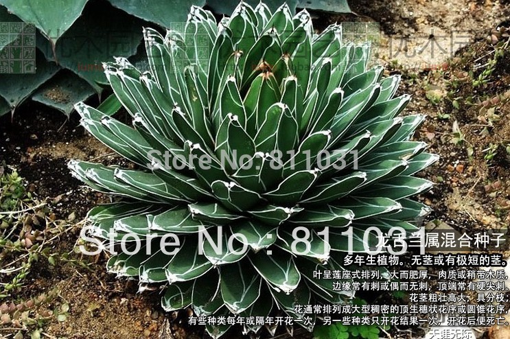 Agave plantas suculentas al por mayor de alta calidad de for Suculentas por mayor