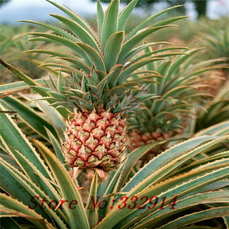 Hot Sale 100 seeds/pack Fruits and vegetables seeds pineapple fruit corn seed yellow(China (Mainland))