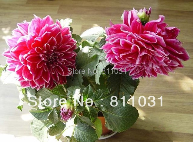 Hot selling 100pcs Dahlias Seeds bonsai flower seed DIY Home Garden free shipping(China (Mainland))