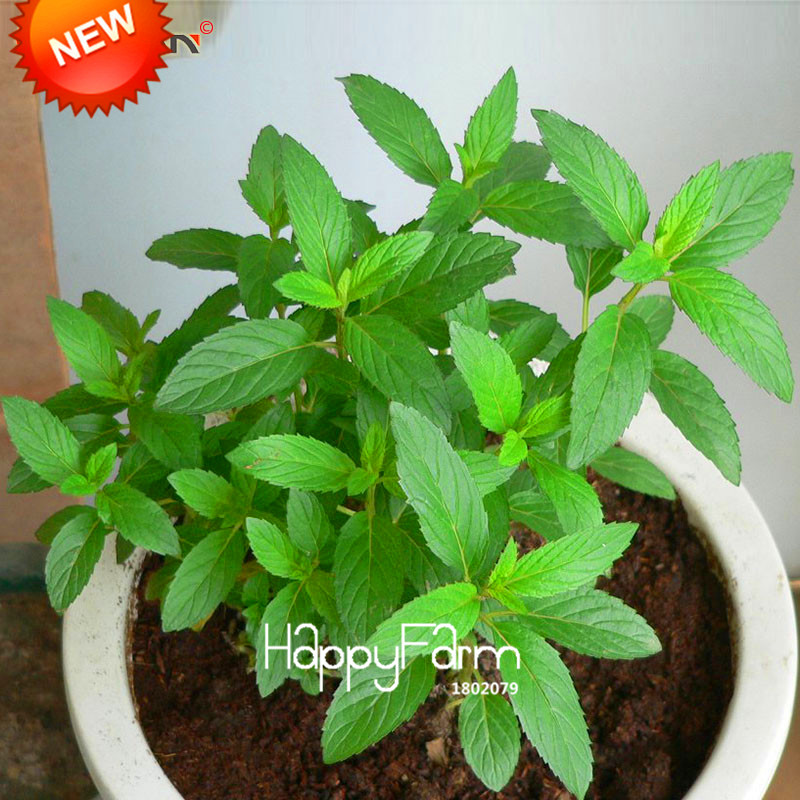 New Fresh Seeds Mint Seed Superior for Herbal Tea Has Radioprotective Effects 200 Seeds / pack,#6ATBLM  New Fresh Seeds Mint Seed Superior for Herbal Tea Has Radioprotective Effects 200 Seeds / pack,#6ATBLM  New Fresh Seeds Mint Seed Superior for Herbal Tea Has Radioprotective Effects 200 Seeds / pack,#6ATBLM  New Fresh Seeds Mint Seed Superior for Herbal Tea Has Radioprotective Effects 200 Seeds / pack,#6ATBLM  New Fresh Seeds Mint Seed Superior for Herbal Tea Has Radioprotective Effects 200 Seeds / pack,#6ATBLM  New Fresh Seeds Mint Seed Superior for Herbal Tea Has Radioprotective Effects 200 Seeds / pack,#6ATBLM
