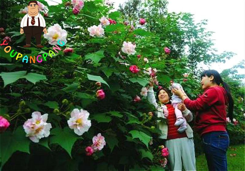 Ingrosso di alta qualit gigantesco albero da grossisti gigantesco albero cinesi - Hibiscus de jardin persistant ...